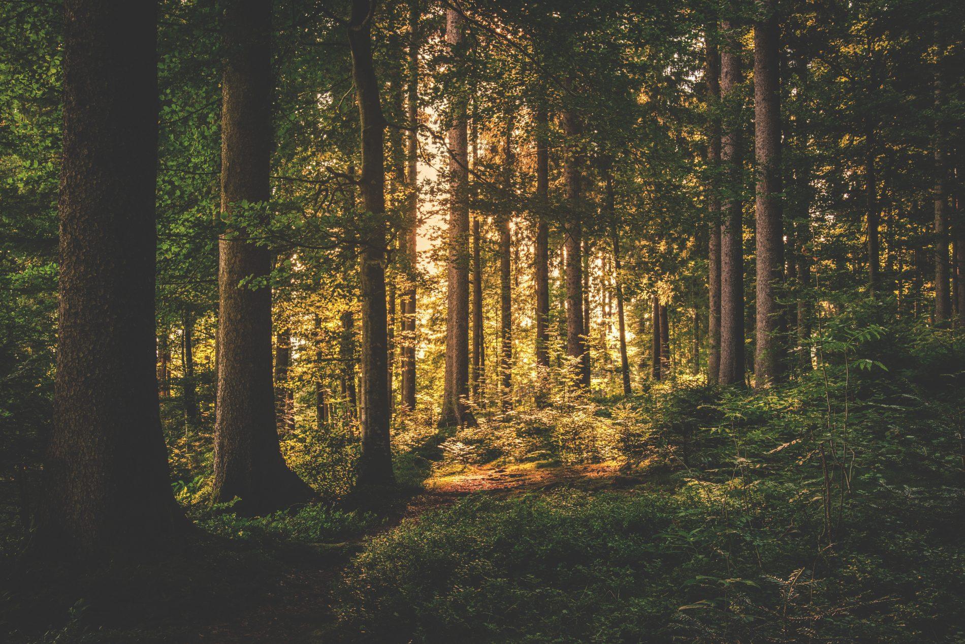 conifer-dawn-daylight-167698